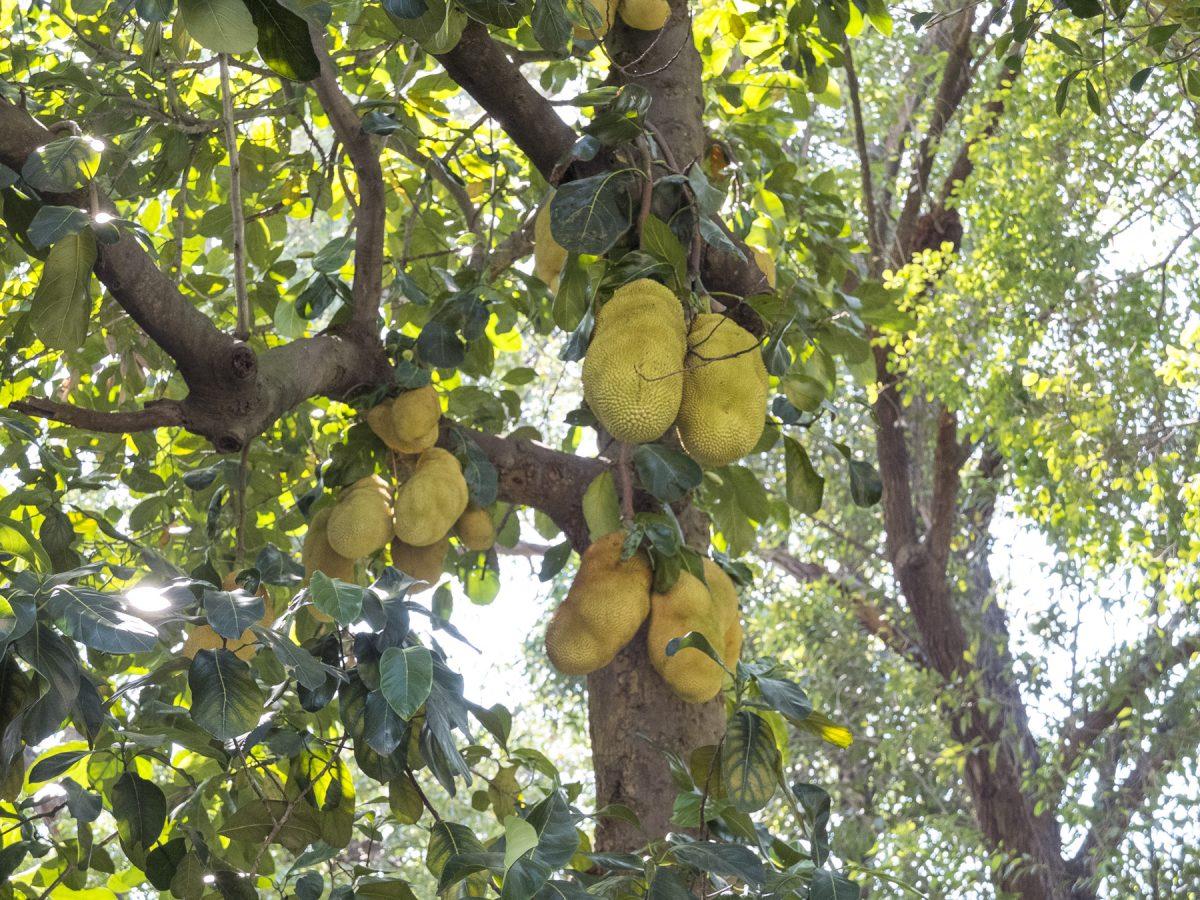 Seltsame Früchte im Parque da Independência