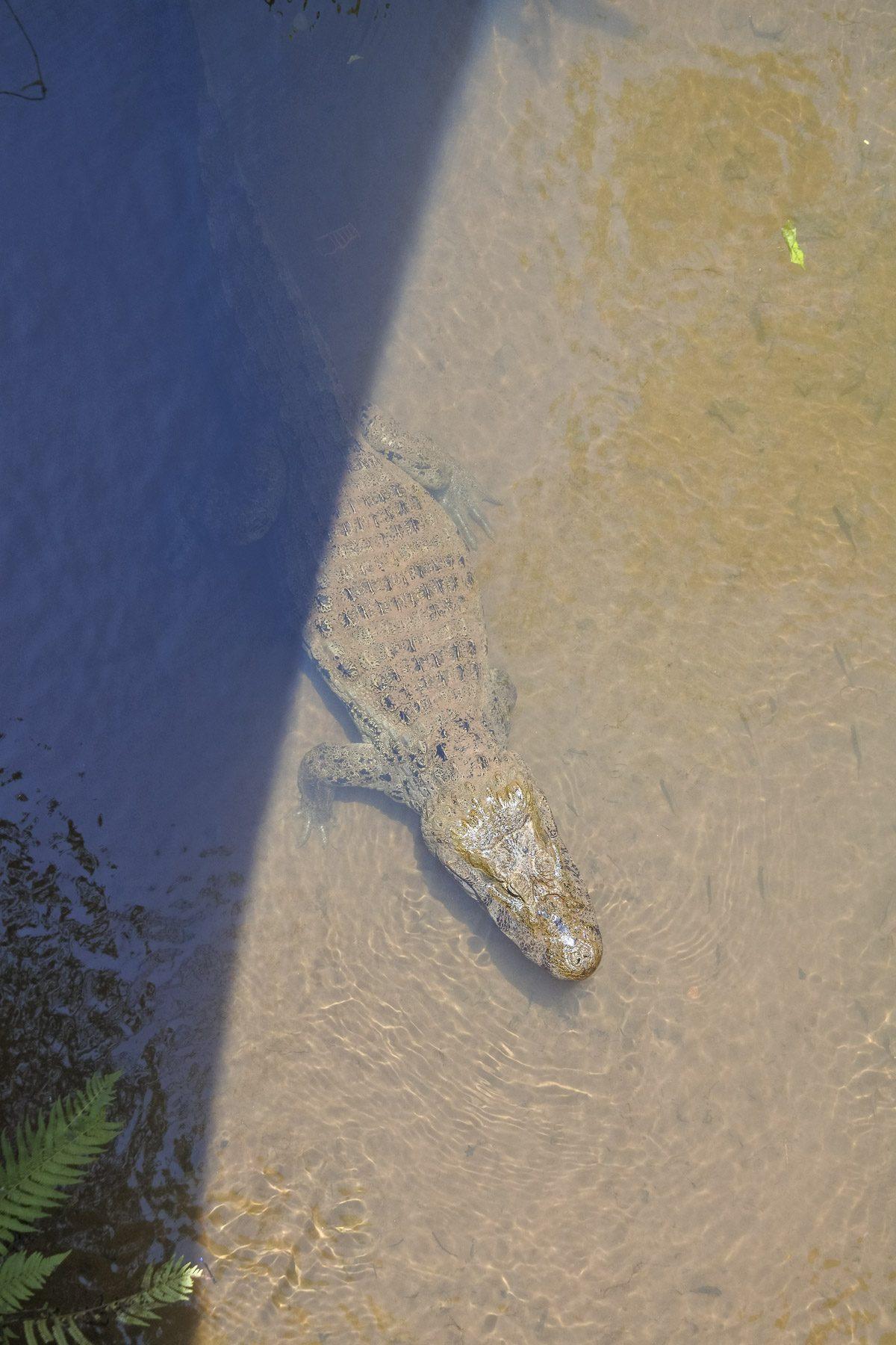 Wir präsentieren: Ein Krokodil