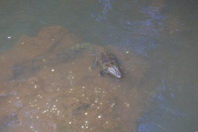 Ein zweites Krokodil