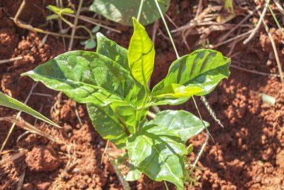 Frisch gepflanzter Kaffee