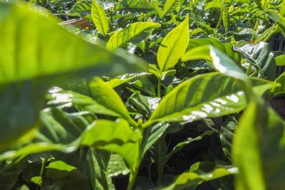 Kaffeepflanzen