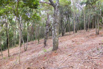 Tupi wird im Wald angebaut