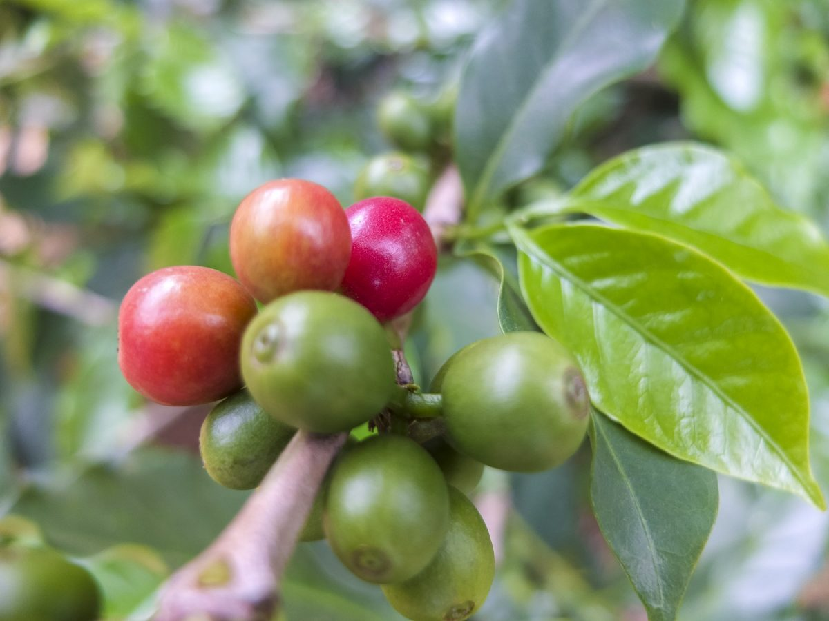Einige rote Kaffeekirschen
